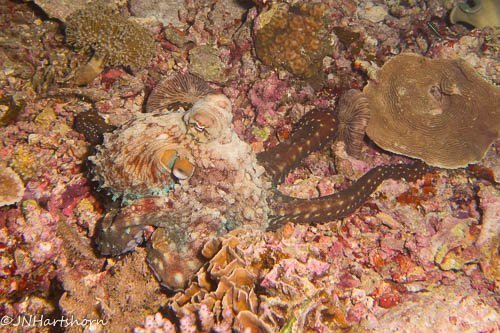 camouflaging day octopus